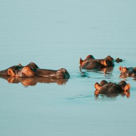 Bootssafari zu den wilden Nilpferden von St Lucia
