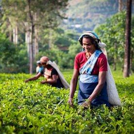 Frisch gepflückten Ceylon-Tee genießen