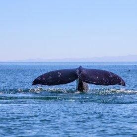 Gigantische Grauwale beobachten (Dez - Mär)