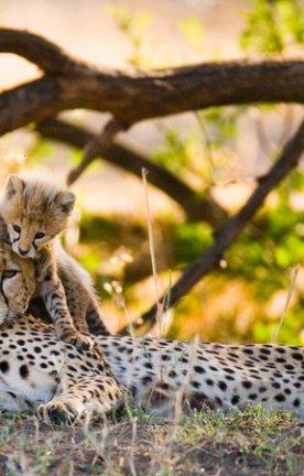 Tansania.Cheeta