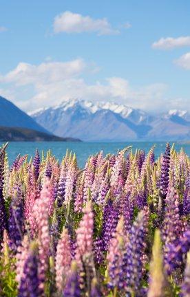 NZ.Lupinflowers Lupinienfeld am Lake Tekapo.