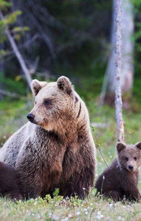CA.Bären Vier Bären in Kanada