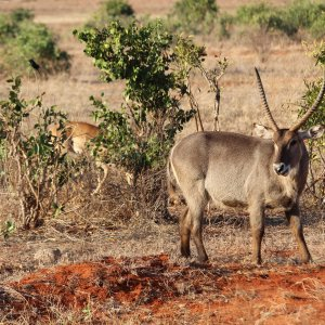 KE.Tsavo East-Wasserbock