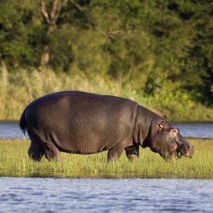 ZA.POI.iSimangaliso Wetland Park Hippo Blick auf ein Nilpferd