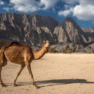 OM.Musandam Oman Musandam Nord Oman Halbinsel Sultanat Gouvernorat Kamel Berge
