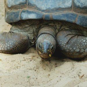 SC.Nationalpark.Schildkroete Nahaufnahme einer Schildkröte im Sand, Seychellen
