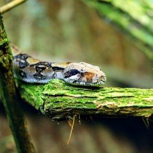 CR.Rincon_de_la_Vieja_Nationalpark_Boa_Constrictor Costa Rica Nationalparks Rincón de la Vieja Guanacaste-Provinz Schlange Boa Constrictor