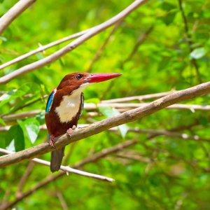 TH.AR.Khao Sok Nationalpark Vogel Ein Vogel auf einem Ast