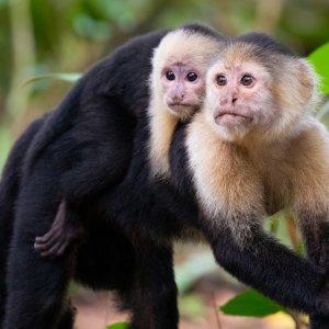CR.Nationalpark_Tortuguero_Affen Costa Rica Tortuguero Nationalpark Regenwald Fluss Kapuzineraffen