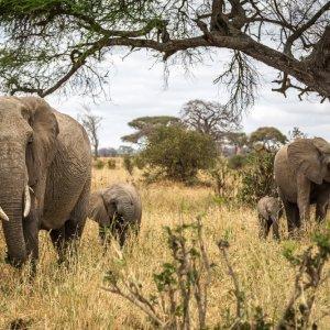 TZ.AR.Tarangire Nationalpark Elefanten Eine Elefantenherde