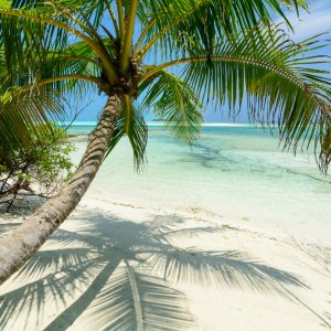 MV.Baa Atoll Palme Palme am Strand von Baa Atoll, Malediven