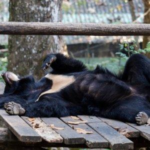 Laos.Kuang_Si_Wasserfall_Kragenbaer Ein tobender Kragenbären im Tat Kuang Si Bear Rescue Centre