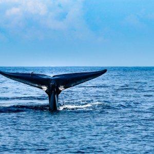 LK.Mirissa_Wale Eine aus dem Wasser ragende Walflosse in der Bucht von Mirissa in Sri Lanka