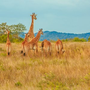 ZA.POI.iSimangaliso Wetland Park Giraffen Blick auf Giraffen