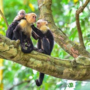 CR.Nationalpark Manuel Antonio 3 Drei Affen im Manuel Antonio Nationalpark