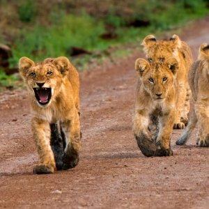 KE.Babylöwen in Masai Mara Np