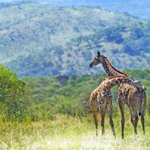 TZ.AR.Tarangire Nationalpark Giraffen Blick auf zwei Giraffen im Park