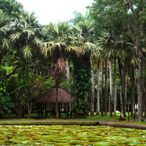 MU.Nordkueste.Pamplemousses Botanischer Garten in Pamplemousses mit großen grünen Palmen und Teich voll großer Seerosen