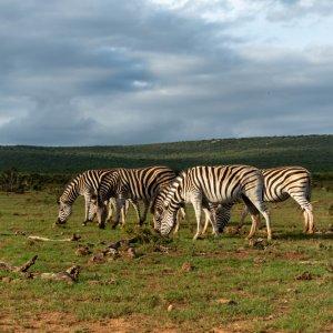 ZA.Addo_Elephant_National_Park_Zebras Grasende Zebras