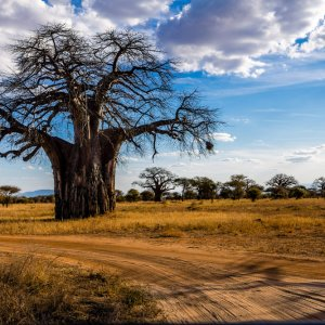 TZ.AR.Tarangire Nationalpark Baum Ein Baum im Nationalpark