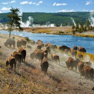 US.AR.Yellowstone Nationalpark Bisons Blick auf eine Bison Herde