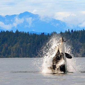 Ein Orca steigt auf dem Wasser empor