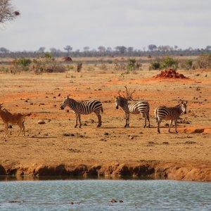 KE.Tsavo East-Zebra