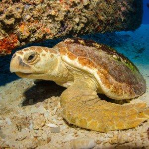 CR.Cahuita Nationalpark Schildkröte Schildkröte unter Wasser