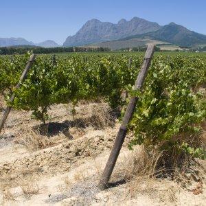 ZA.Franschhoek.Weinreben Weinreben im Tal von Franschhoek