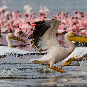 KE.LNakurusee.Pelikane