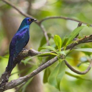 Sansibar.Jozani-Chwaka-Bay-Nationalpark_Starling_Vogel Der schwarzbäuchig glänzende Starling Vogel auf einem Ast im Jozani-Chwaka-Bay-Nationalpark auf Sansibar