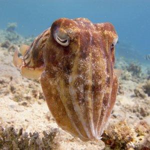 JO.Aqaba.Tauchen Tintenfisch unter Wasser