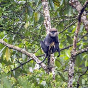 "LK.Sinharaja_Forest_Reserve_Affe Langur auf einem Ast im ""Sinharaja Forest Reserve"""