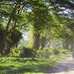 TZ.Arusha-Nationalpark Ein Jeep auf einer Straße durch den grünen Arusha-Nationalpark
