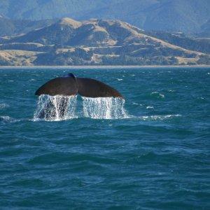 NZ.Kaikoura_Pottwale Der Blick auf die Flosse eines Pottwals, die aus dem Meer ragt.
