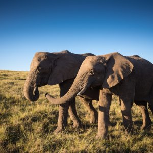 ZA.Knysna.Elefanten Junge Elefanten laufen durch südafrikanische Landschaft