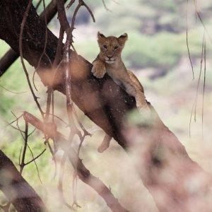 TZ.AR.Lake Manyara Nationalpark Baby Löwe Ein kleiner Baby Löwe auf einem Ast