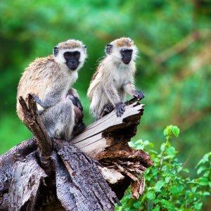 TZ.AR.Lake Manyara Nationalpark Affen Zwei Äffchen auf einem Baumstumpf
