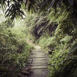 """LK.Sinharaja_Forest_Reserve Hölzerner Weg im dicht bewachsenen Dschungel des """"Sinharaja Forest Reserve"""""""