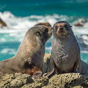 NZ.Kaikoura_Seebären Der Blick auf zwei Seebären auf einem Felsen.