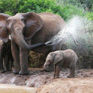 ZA.Addo_Elephant_National_Park_Wasserloch Elefant bespritzt sein Junges mit Wasser aus dem eigenen Rüssel