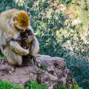 MA.Ouzoud_Faelle_Affe Ein Berberaffe umarmt innig sein Junges.