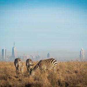 Nairobi Zebras in front of Skyline Nairobi