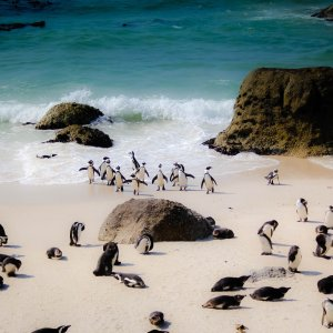 ZA.POI.Tafelberg 6 Pinguine am Strand