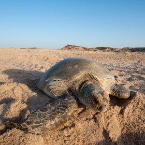 """OM.Ras_Al_Jinz Grüne Meeresschildkröte im feinen Sand vom Strand """"Ras Al Jinz"""" im Oman"""