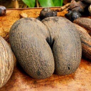 SC.Praslin.Kokosnuss Die zweiteilige Frucht einer Meereskokosnuss