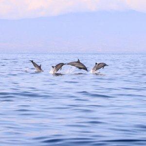 Bali.Lovina.Delfine Delfine springen aus dem Wasser