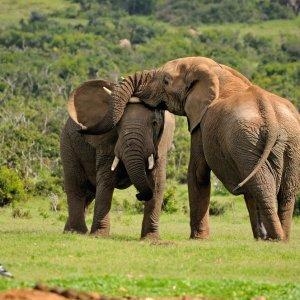 ZA.Addo_Elephant_National_Park_Elefanten Zwei Elefanten spielen miteinander in einer grünen Umgebung