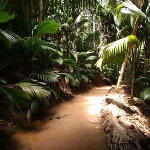SC.Vallée_de_Mai_Nationalpark_Seychellenpalme Ein Weg durch die grünen Seychellenpalmen im Vallée de Mai Nationalpar