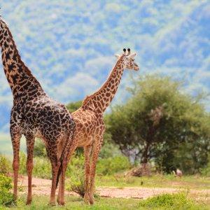 TZ.AR.Lake Manyara Nationalpark Giraffen Zwei Giraffen im Park